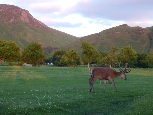 Deer grazing on Lochranza Golf course, Arran