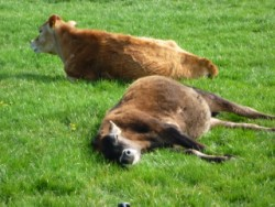 Jersey cows sleeping at Glenluce