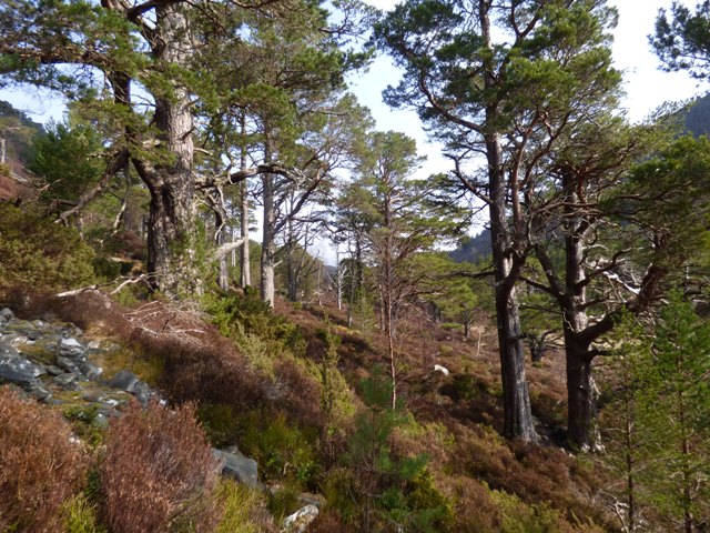 Path through Scots Pines to Lochan Uaine