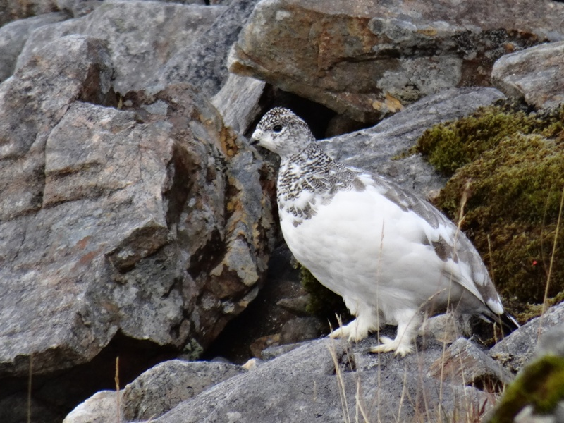 Rock Ptarmigan on Spidean Mialach