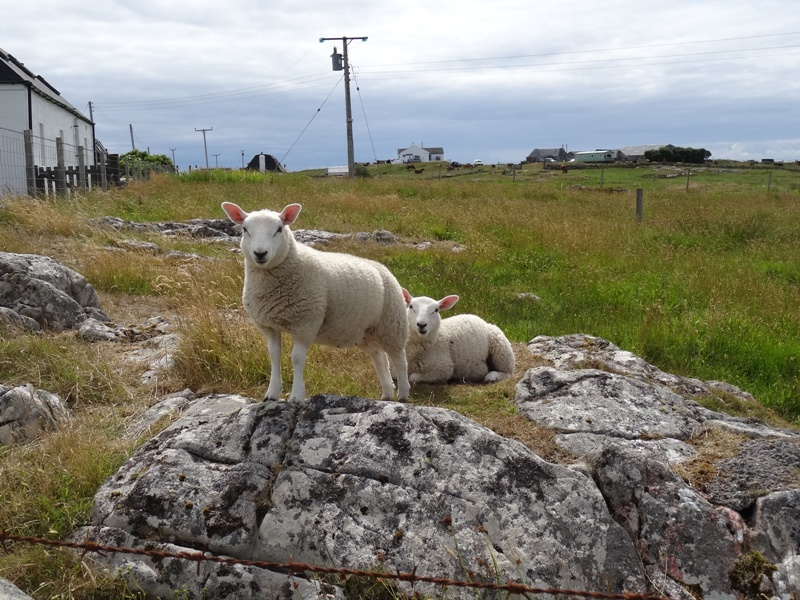 Tiree Sheep Takeover
