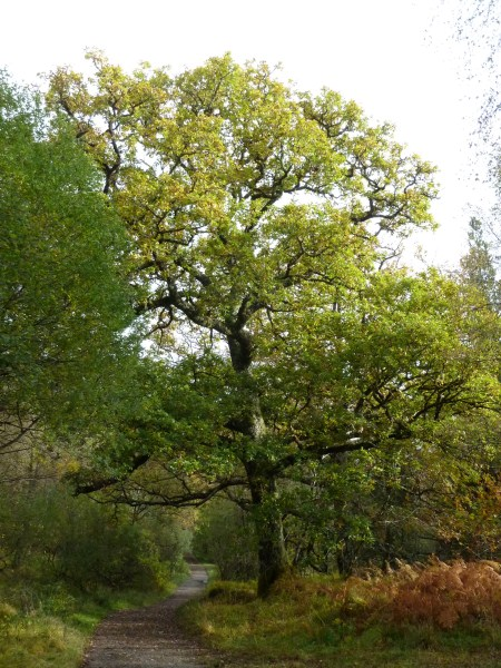 Oak tree on Ariundle Woodland Walk