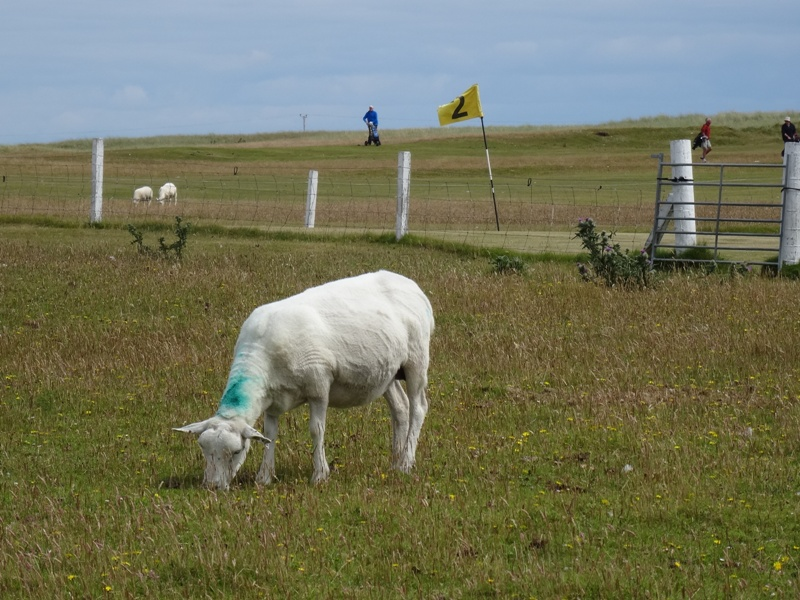 Sheep hazard on Tiree golf course